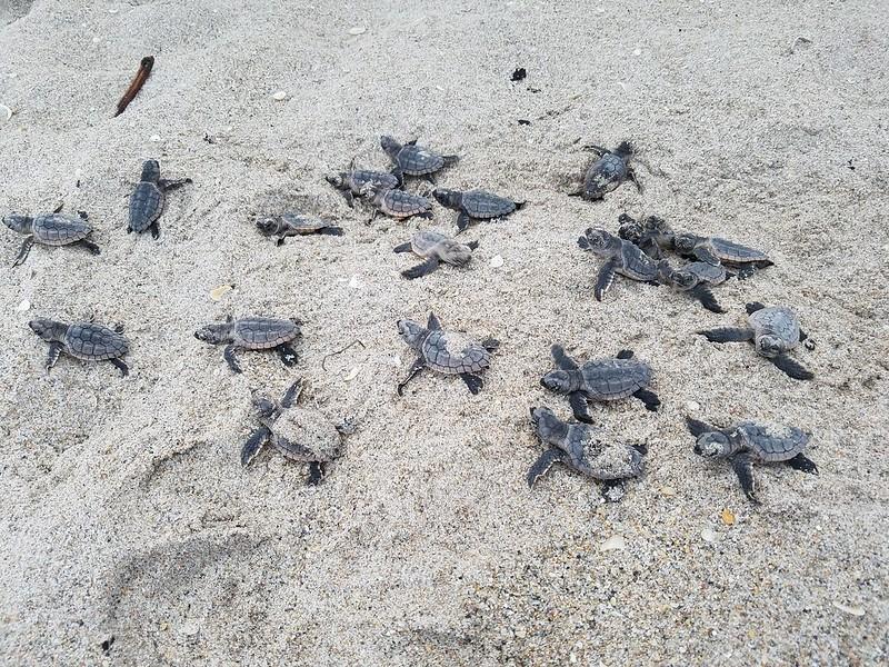 As tartarugas marinhas híbridas podem ser reproduzíveis, com um estudo produzindo apenas filhotes vivos, mais da metade dos quais são raças puras.  Crédito de imagem - Florida Fish & Wildlife / Flickr, licenciado sob CC BY-ND 2.0