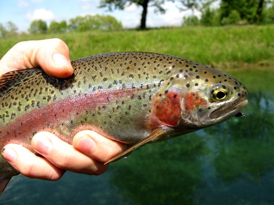 研究人员发现,养殖的虹鳟鱼的胆量受单一细菌的控制。 图片信用-Helti,根据CC BY-NC-ND 2.0许可