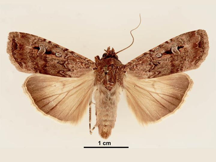 The Bogong moth can travel more than 1,000km to hibernate in caves during the Australian summer. Image credit - Lucinda Gibson & Ken Walker, Museum Victoria/Wikimedia, licenced under CC BY-SA 3.0