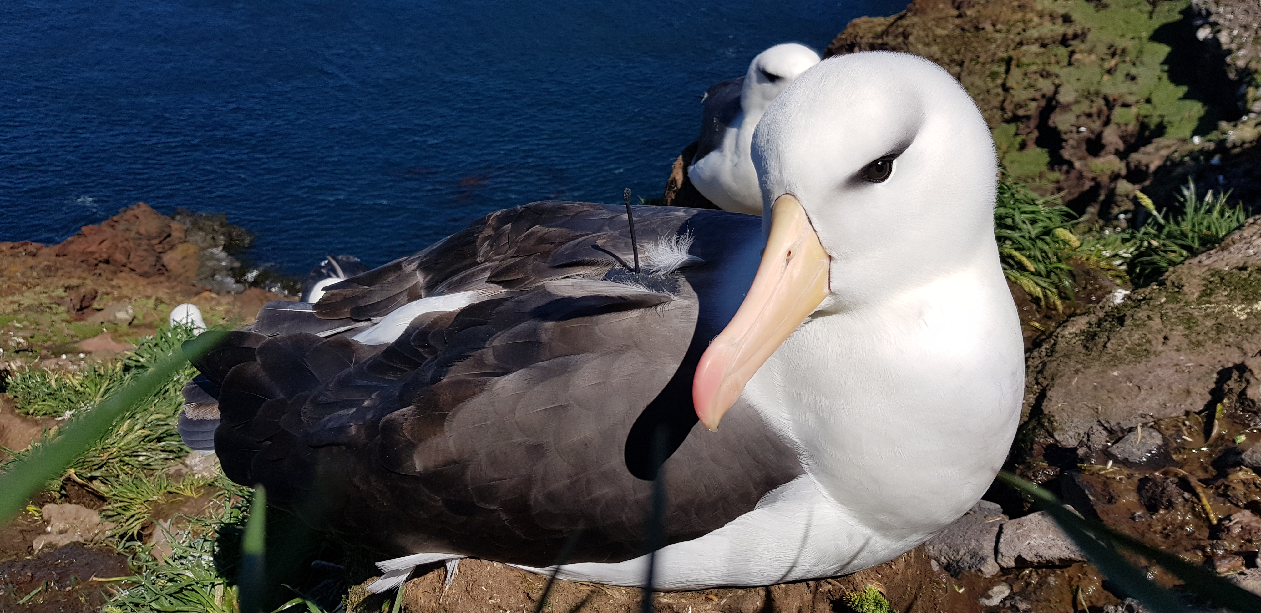 Dr Weimerskirch and his team had to make new loggers to accommodate the smaller size of black-browed albatrosses. Image credit - Henri Weimerskirch/CNRS