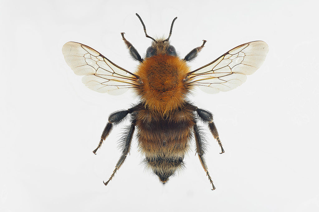 Prof. Kleijn's team focused on the beauty and fascination of the brown-banded carder bee when communicating about their reappearance in the southern Netherlands, rather than just focusing on their utility. Image credit - Arnstein Staverløkk, licensed under CC BY 3.0