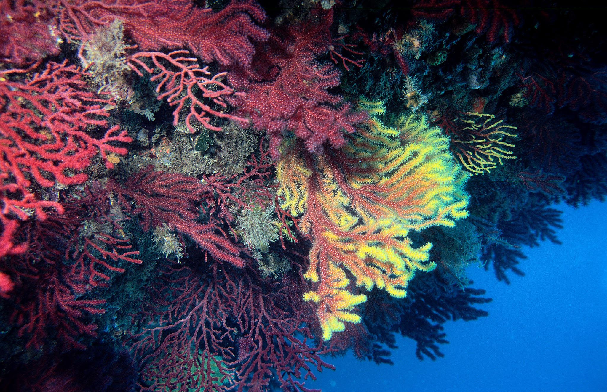 Gorgonians are being reintroduced in hard-bottom habitats in European seas. Image credit - Pxhere