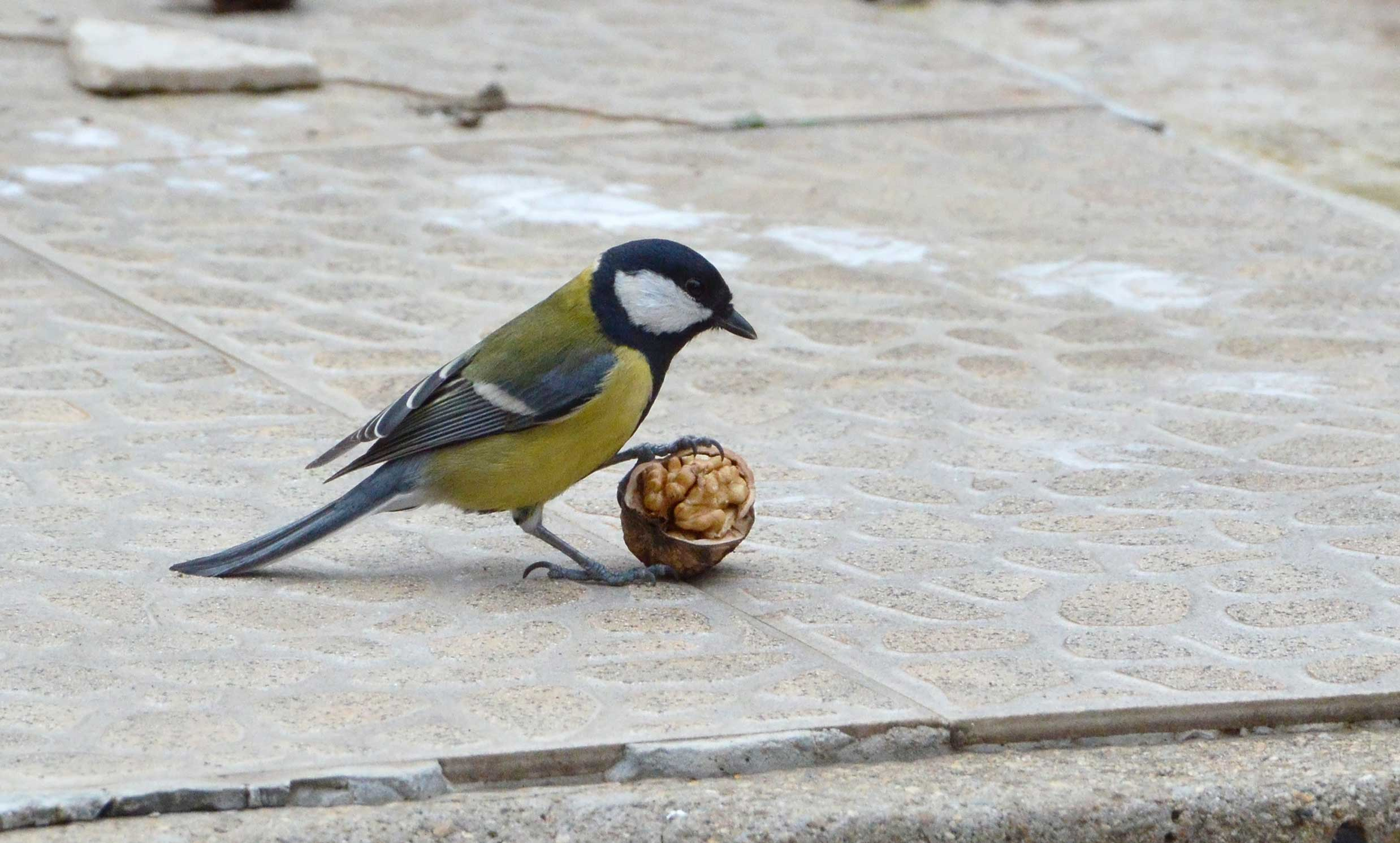 Great tits living in urban areas fight off more infections than their rural cousins. Image Credit - CC BY-SA 4.0