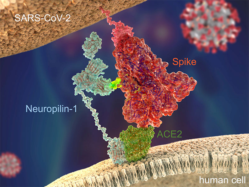 Researchers have discovered that the coronavirus spike protein can bind to a receptor called neuropilin 1, which gives it another way to enter human cells. Image credit - Ryan Allen