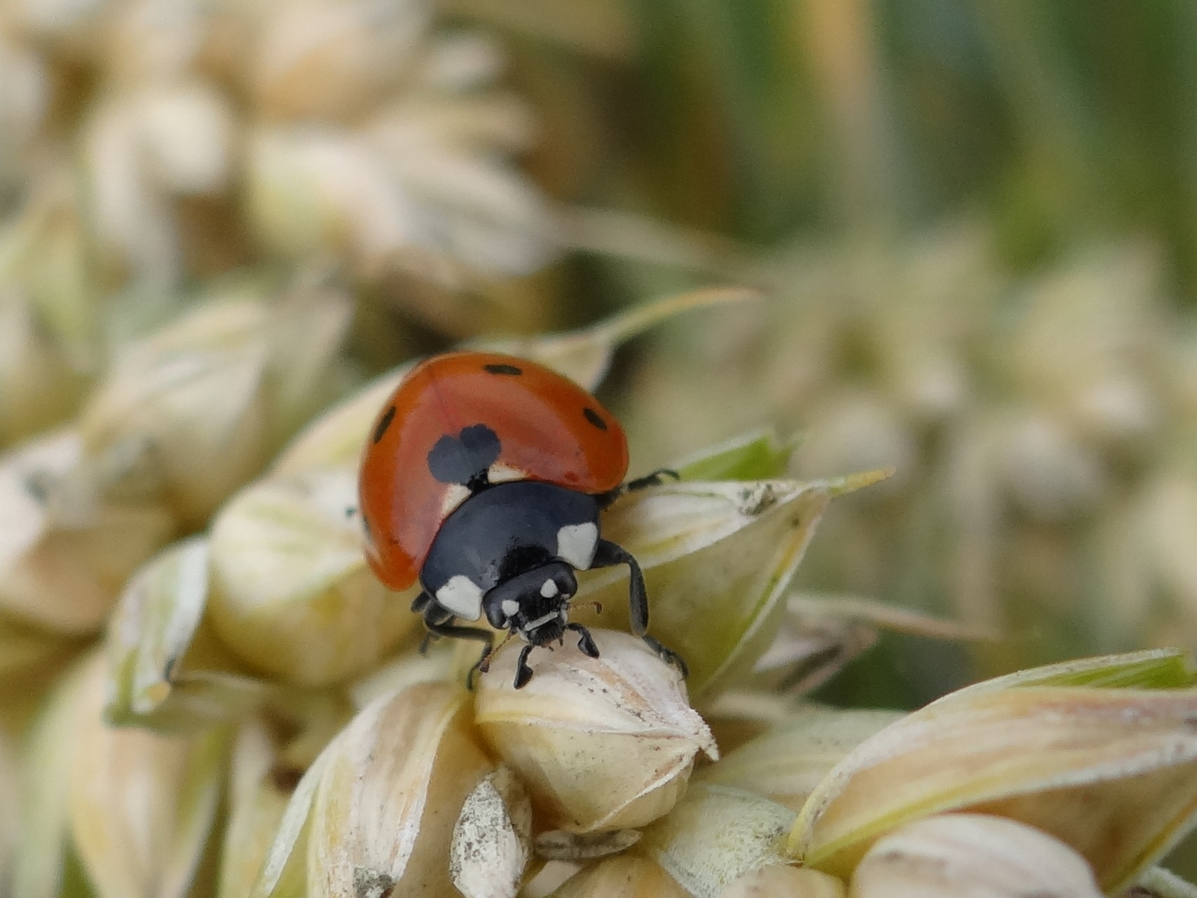Predators such as ladybirds can help keep down the population of pests such as aphids on wheat. Image credit - Severin Hatt