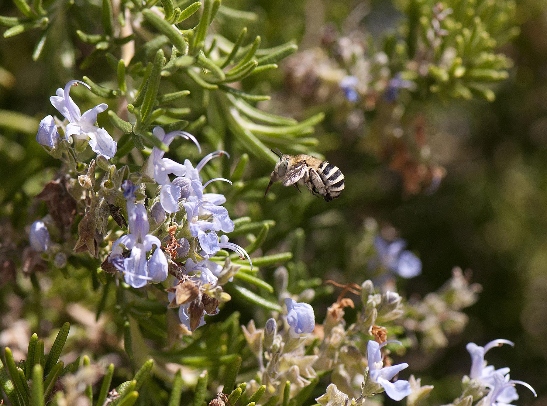 Bees pollinate wild species as well as a lot of our plant-based food such as these rosemary flowers. Image credit -  Curro Molina