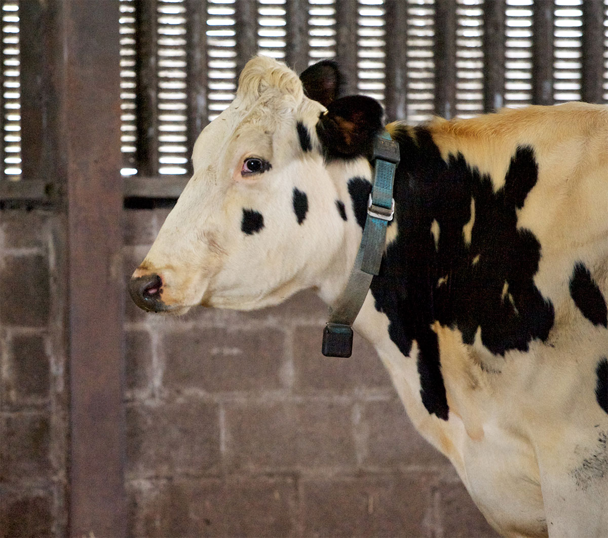 Data gathered from collar-mounted accelerometers can indicate early signs of illness, such as lameness, in individual cows. Image credit - Ivan Andonovic