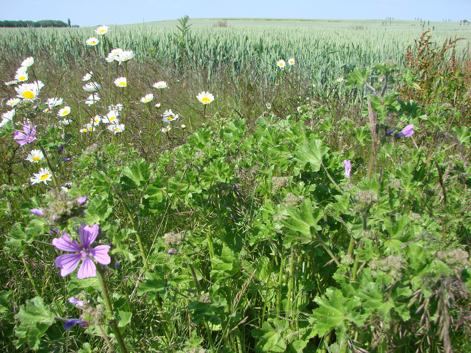 Wildflower strips at the edge of crop fields are being tested in conjunction with intercropping and living mulch to determine their impact on pests, disease and weeds. Image credit - Severin Hatt
