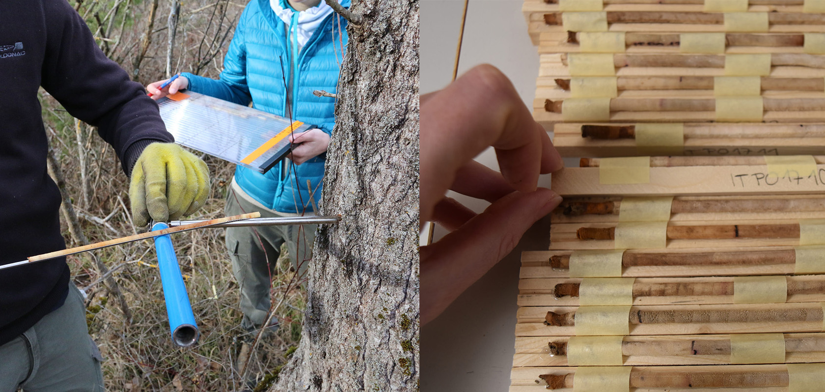 Wood cores taken from species including black poplar, taken from 120 sites around Europe, are helping researchers build up a library of genetic information. Image credits (L-R) - Marc Villar/INRA, France & L.Mateju/WSL, licensed under There is concern that climate change is happening too fast for forests to adapt, so scientists are giving them a helping hand. Image credit - Mehdi Pringarbe/INRA Avignon, licensed under CC BY-NC-SA 2.0
