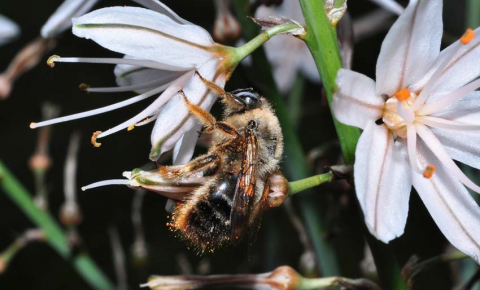 The European Red List categorises 77 bee species as under threat, out of 1,942 species on the continent. The Xylocopa cantabrita is not under threat. Image Credit - Curro Molina