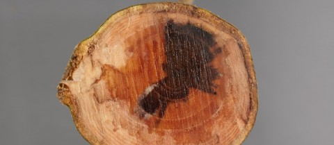 A cross section of the tree trunk shows the symptoms of the ash dieback. ©Fera-Crown