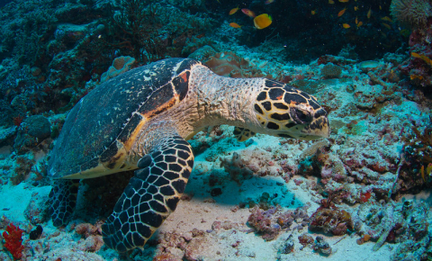 Genetic analysis shows that arounda third of female hawksbill turtles at nesting sites in Bahia, Brazil, are in fact hawskbill-loggerhead hybrids. Image credit - Tchami / Flickr, licensed under CC BY-SA 2.0