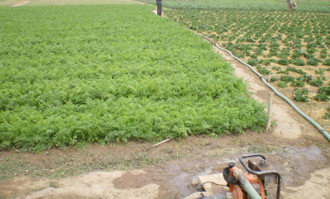 In poorer countries, using raw wastewater to irrigate urban farms could be an underlying cause of antibiotic resistance. Image credit - SuSanA Secretariat, licensed under CC BY 2.0