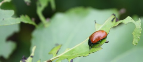 Taste-based feeding traps can keep away pests like the poplar leaf beetle. Image credit – Dr Pentzold / ChemoSense project