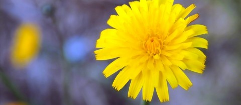 Harvesting rubber from dandelions is a way to reduce the reliance on imports from Southeast Asia. Image credit: Pixabay/ starbright