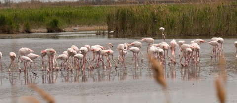 flamingos in camargue wetlands