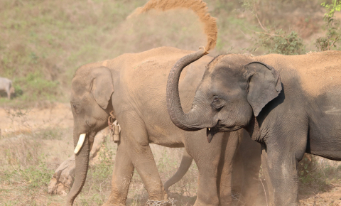 Elephants might hold secrets for how humans can fight cancer and slow down ageing. Image credit - Virpi Lummaa