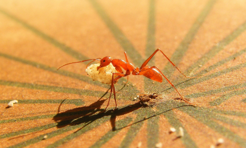 An ant has the navigation skills to cover hundreds of metres in a single day and still find its way home. Melophorus Bagoti ant. Image Credit - Antoine Wystrach