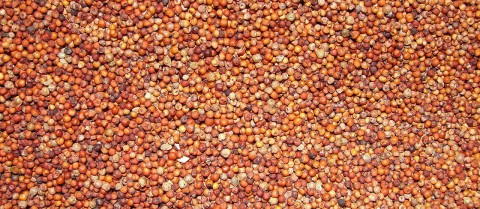 Research on finger millet crops aims to boost essential vitamins to tackle malnutrition. Credit: 'A Scene of Ragi' by  Thamizhpparithi Maari is licenced under CC BY-SA 3.0