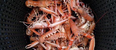 Ocean acidification can put creatures such as the Norway lobster at risk of infection, as well as the people who eat them. Image courtesy of Dr Anna-Sara Krång
