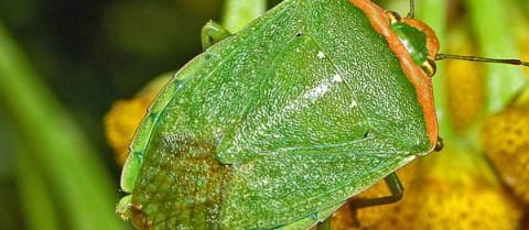 The Nezara viridula stink bug is one pest that is highly resistant to pesticides. Image credit: 'Pentatomidae - Nezara viridula f. torquata' by Hectonichus is licensed under CC SA-3.0