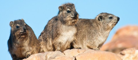 Rock hyraxes from South Africa use communal latrines which can preserve pollen and stable isotopes for thousands of years. Image Credit: Shutterstock