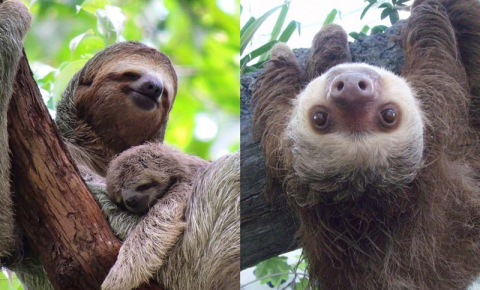 The brown-throated sloth has three toes and adapted to life in the trees before the two-toed sloth did. Image Credit - Flickr/Harry and Rowena Kennedy CC BY-NC-ND 4.0/ CC BY 3.0