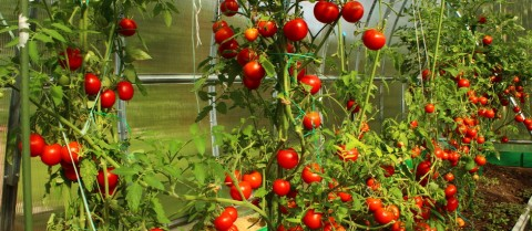 Professor Zamir is working out how to increase the yield of tomatoes. Image: Shutterstock/ Kingarion
