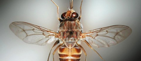 The tsetse fly is the carrier of trypanosomiasis, or sleeping sickness. ©Institute of Tropical Medicine