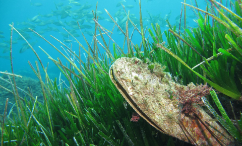The fan mussel depends on seagrass meadows in the Mediterranean. Image credit - Fan mussel (Pinna nobilis) by Arnaud Abadie is licensed under CC BY 2.0