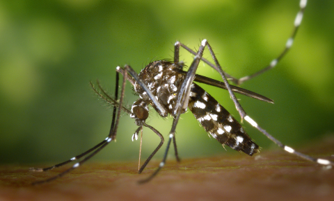 A form of tiger mosquito birth control and drones may help stem the spread of some tropical diseases. Image credit - James Gathany/CDC, public domain