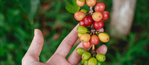 Symbiotic bacteria might have helped coffee plants adapt to climate change in the past. Image credit - Pixabay/StockSnap, licensed under CC0