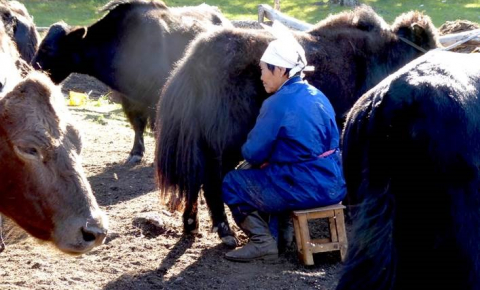 Studying the culture of Mongolian herders may help crack the mystery of why humans started consuming animal milk before populations evolved to be able to digest it. Image credit - Matthäus Rest