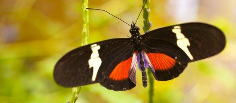 Scientists are studying butterflies in the Heliconius genus to understand how genomes can change over time. Image credit: Shutterstock/ bluecrayola