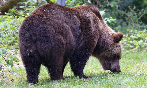 Brown bears show individuality in the distance they travel each day, their preference for daytime or night-time movement and other behaviours, according to research. Image credit - Rufus46, licensed under CC BY-SA 3.0