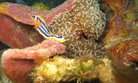 Mesophotic coral ecosystems, found 30-150m below the sea in tropical and subtropical regions, could make up half of all reefs worldwide but there is little known about them. Image credit - Gal Eyal