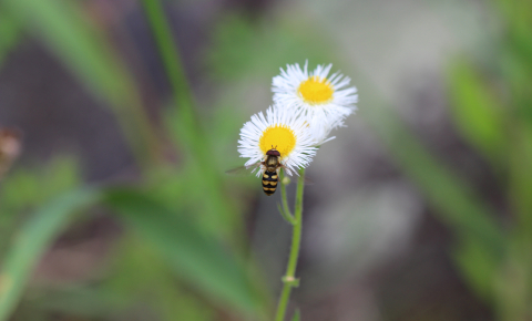 Wildflower strips consisting of a mix of a dozen flowers attract beneficial insects, including predators of crop pests such as aphids, particularly ladybirds, hoverflies and lacewings, and some parasitic wasps. Image credit: Severin Hatt