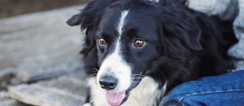 Scientists have identified five genes that are associated with help-seeking behaviour in dogs. Credit –  Pixabay/ Kat Jayne