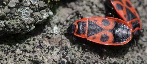 By studying the biological clocks of insects and how they cope with changing environments, researchers hope to understand human genetic adaptability. Image credit - 'Firebug - Pyrrhocoris apterus' by Björn S is licenced under CC SA-2.0