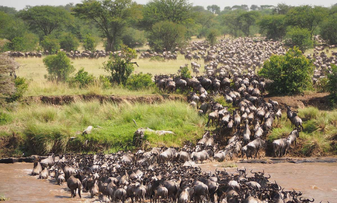 The migration routes of wildebeest are being squeezed by human activity. Image credit - Jorge Tung/Unsplash