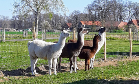 Stockholm-based researchers with the CoroNAb project are investigating the coronavirus antibodies produced by alpacas including Tyson, the small one pictured here, for potential use in human therapies. Image credit - Preclinics, Potsdam