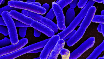 E.coli can cause disease but it also lives in our gut and has a range of toxins that helps keep the populations of the various bacteria in balance. Image credit - NIAID/Wikimedia commons, licenced under CC BY 2.0
