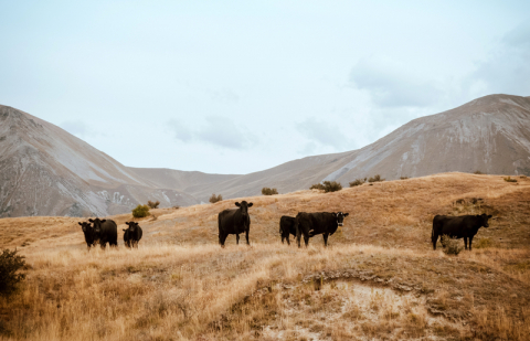 Cows dry hills. Image credit - goodfreephotos, licensed under CC0