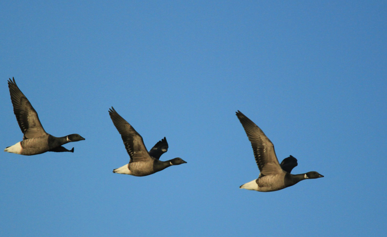 The volatility of seasons is affecting the breeding patterns of Brent geese, a migratory bird species. Image credit - Flickr/milo bostock, licensed under CC BY 2.0