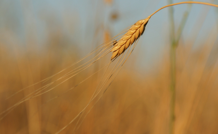 Minor cereals such as einkorn can add to the diversity of our food production. Image credit - Pixabay/Kamelia, licensed under the pixabay license