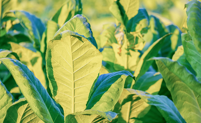 Special biomolecules and compounds for medical use are being grown in plants like the commercial tobacco plant. Image credit - Pixabay/Couleur, licenced under Pixabay licence