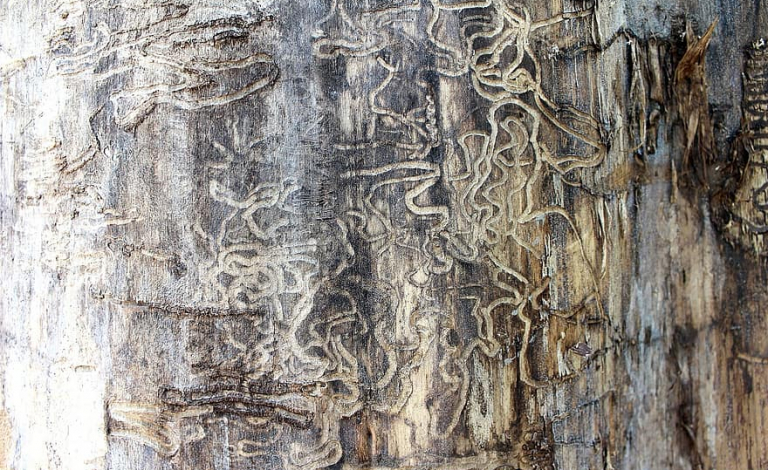 The emerald ash borer has killed more than 150 million trees in the US in the last decade and is a potential threat to Europe's forests.