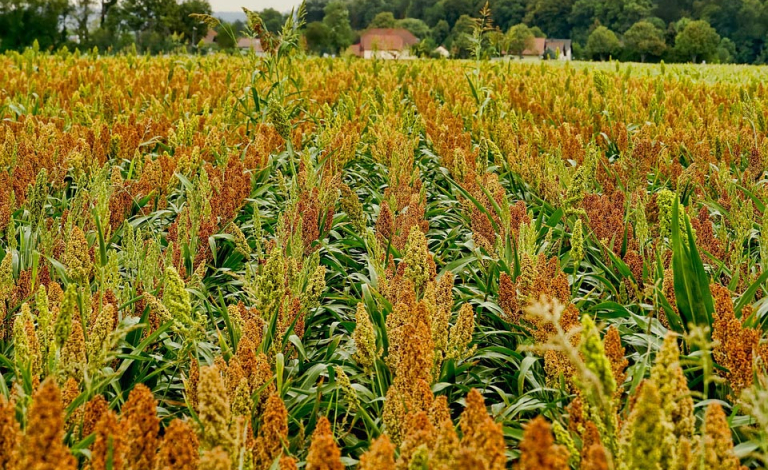 Modifying sorghum so that it releases zinc more easily could help tackle micronutrient deficiency. Image credit - Schwoaze, Pixabay