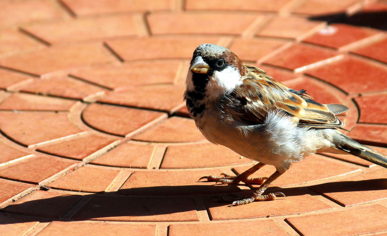 Very little is known about how the social behaviours of house sparrows are changing in urban habitats. Image Credit - Flickr/B Balaji, CC BY-NC 2.0