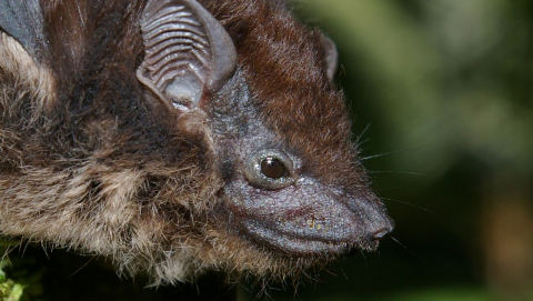 Researchers are trying to determine if different song dialects in groups of S. bilineata bats is driving genetic change and ultimately to them becoming two different species. Image credit - Karin Schneeberger/Wikimedia, licenced under CC BY-SA 3.0